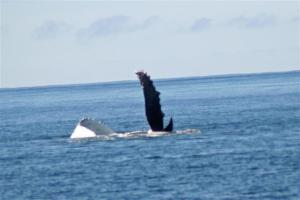 More Humpback, these guys put on quite a show.  I probably have 40 pics kind of like this one.