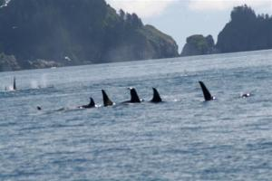 Probably the highlight of the day.  Three pods of Orcas, about 30 of them, traveling together.