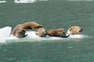 Harbor Seals, living the good life.
